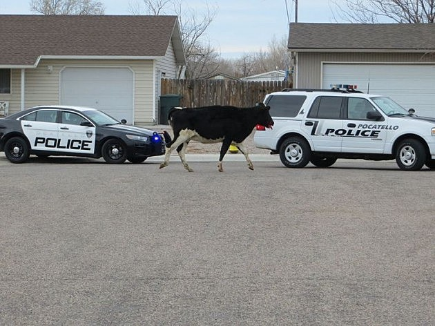 cow escapes butcher shop leads police on wild chase